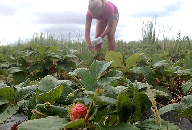 cueillette-fraises-oleron